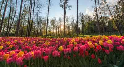 Tulpenblüte in Slowenien