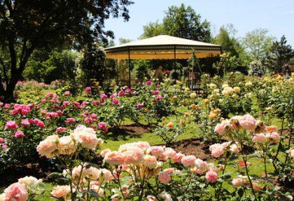 Rosenblüte Slowenien
